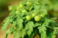 Green unripe tomatoes grow Stock Photo