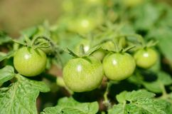 Green unripe tomatoes grow Stock Images