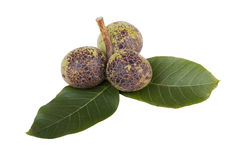 Green unripe walnuts Stock Images