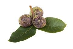 Green unripe walnuts Stock Images