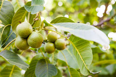 Green, unripe walnuts Royalty Free Stock Photography