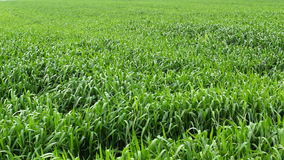 Green unripe wheat palnts in field, handheld shot stock video