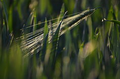 Green unripe wheat Stock Photos