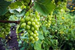 Green, unripe, wine grapes in vineyard, grapes growing on vines in vine yard stock images