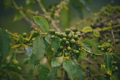 Green unroasted coffee grains and one tree. Green unroasted coffee harvest and one tree Stock Photography