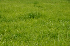 Green untrimmed grass field. Green untrimmed grass field captured up-close Stock Photos