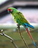 Green utmärkt (Buffons) macaw, i att omge för natur Arkivfoton