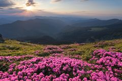 Green valley high on the mountains in summer day is spangled with many nice pink rhododendrons. The sunset with rays. Royalty Free Stock Photo
