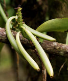 Green vanilla. The vanilla is a flavoring plant native from Mexico and belonging to the specie of vanilla planifolia Stock Photo