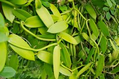 Green vanilla bean plant growing on plantation Stock Photos