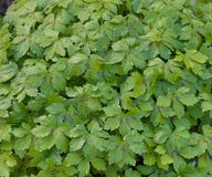 Green variegated geranium leaf background - lush image. Background of vegetation showing geranium leaves stock photos