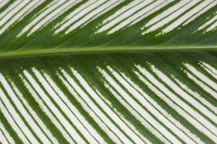 Green variegated leaf. Green and white leaf texture nature background Stock Photos