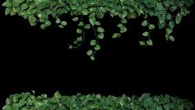 Green variegated leaves of devil`s ivy or golden pothos Epiprem