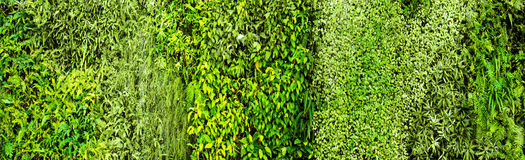 Green various creeper fern and lush plant on wall. Nature and environment concept Royalty Free Stock Image