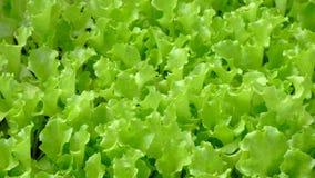 Green vegetable. Growing green vegetable on farmland Royalty Free Stock Photo