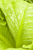 Green vegetable. It is a close shot of green vegetable leaf Stock Image