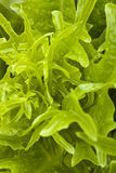Green vegetable. It is a close shot of green vegetable leaf Royalty Free Stock Image