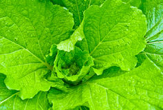 Green vegetable Royalty Free Stock Photo