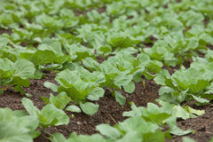 Green vegetable. Growing in field. Green is a common vegetable in Asian dishes Stock Photo