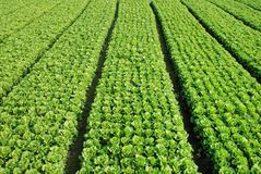 Green Vegetable. Rich Green Vegetable Field in Texture Stock Photos