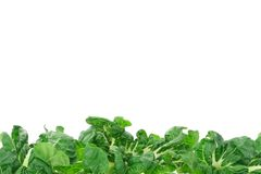 Green vegetable border Stock Image