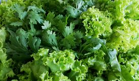 Green vegetable coriander and lettuce. Diet food Royalty Free Stock Photography