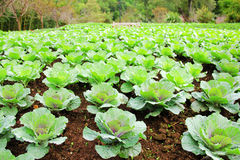 Green vegetable farm. Green vegetable leaves in farmland Royalty Free Stock Images