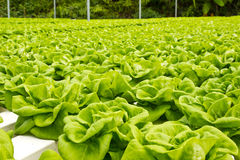 Green vegetable in  farm Royalty Free Stock Image