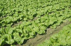 Green vegetable field Stock Photo