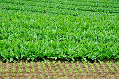 Green vegetable field Stock Images