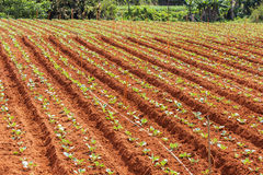 Green vegetable field in farm Stock Images