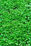 Green vegetable field. With many green fresh vegetables Royalty Free Stock Photo