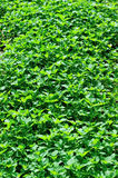 Green vegetable field. With many green vegetables Stock Photography