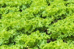 Green vegetable field. A field of green organic vegetables Royalty Free Stock Images