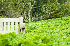 Green vegetable field. A field of green organic vegetables Royalty Free Stock Photography
