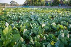 Green vegetable field in Pua. Sunrise with green vegetable field in Pua ,the  northern of Thailand Stock Photography