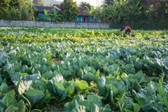 Green vegetable field in Pua. Sunrise with green vegetable field in Pua ,the  northern of Thailand Royalty Free Stock Photo
