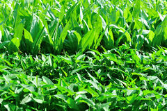 Green vegetable field. With several kinds of vegetables Stock Photo