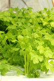 Green vegetable in hydroponic farm Royalty Free Stock Photography