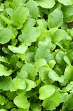 Green Vegetable In Field Stock Photography