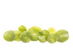 Vegetable leaf Royalty Free Stock Photos