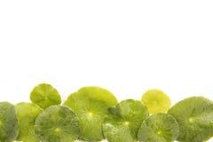 Vegetable leaf Stock Image