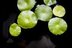 Vegetable leaf Royalty Free Stock Photo