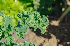 Green vegetable leaves, healthy eating, vegetarian food. Close up of green curly kale plant in a vegetable garden. royalty free stock photography