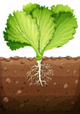 Green vegetable with leaves and roots Stock Images