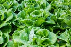 Green vegetable on rayal garden Stock Photos
