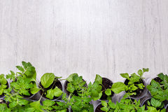 Green vegetable seedlings on lighten background with the place f Stock Photo