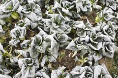 Green vegetables. Cold air, and early morning frost, the open food will surely freeze to death! The green vegetable frost will not die, but better to eat stock images