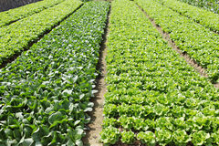 Green vegetables field Stock Image