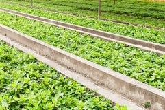 Green  vegetables  garden Stock Image